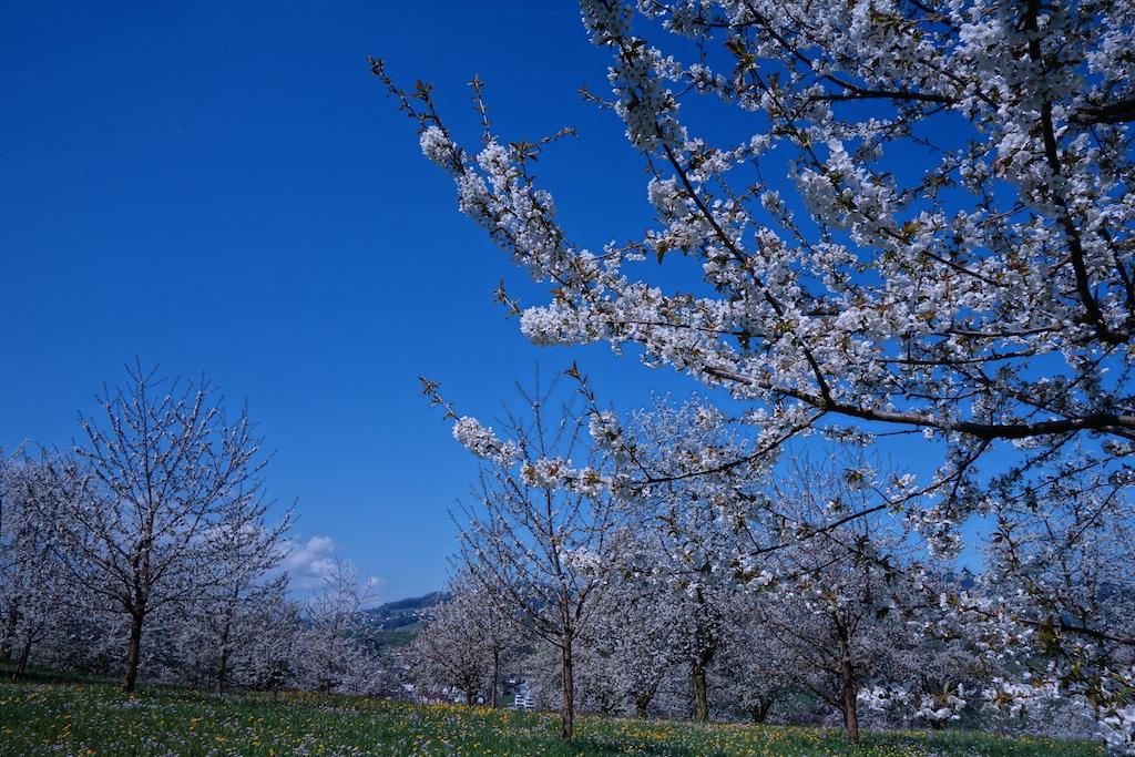 Im Frühling auf Tells Spuren: Von Immensee nach Weggis
