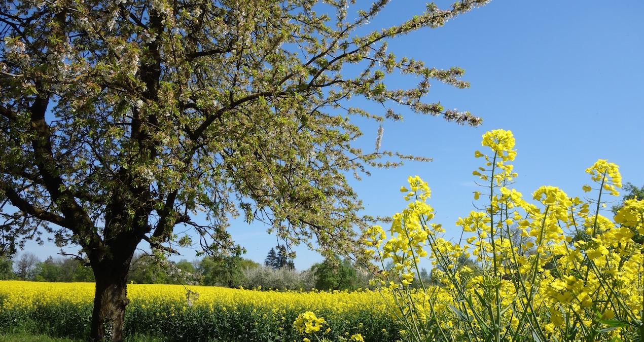 Frühlingswanderung von Amriswil entlang blühender Obstbäume