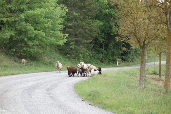 Geisse und Schafe