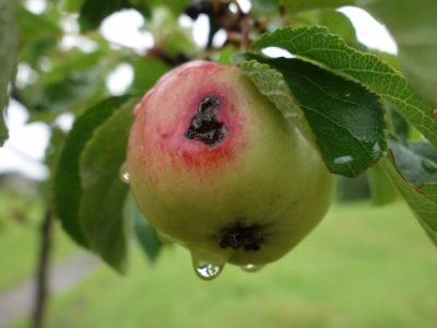 Eigenthaler Apfel